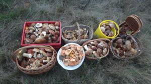 cogumelos-russos
